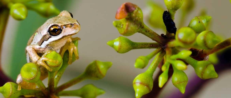 frog-in-eucalypt-500