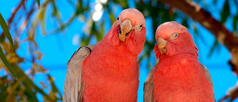 istock-pink-galahs-500